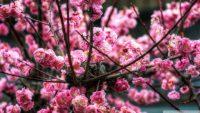 pink_sakura_hdr-wallpaper-1920x1080