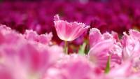pink_tulips_4-wallpaper-1920x1080