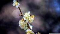 plum_blossom_branch-wallpaper-1920x1080