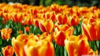 tulips_6-wallpaper-1920x1080